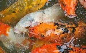 导致金鱼浮在水面上的原因有哪些